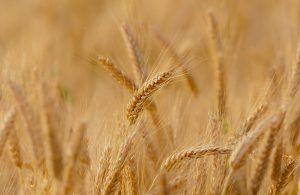 Plagas y enfermedades del trigo