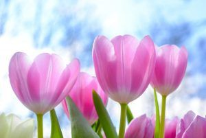 Cuándo sembrar tulipanes
