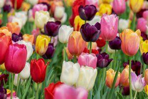 Cuándo cultivar tulipanes