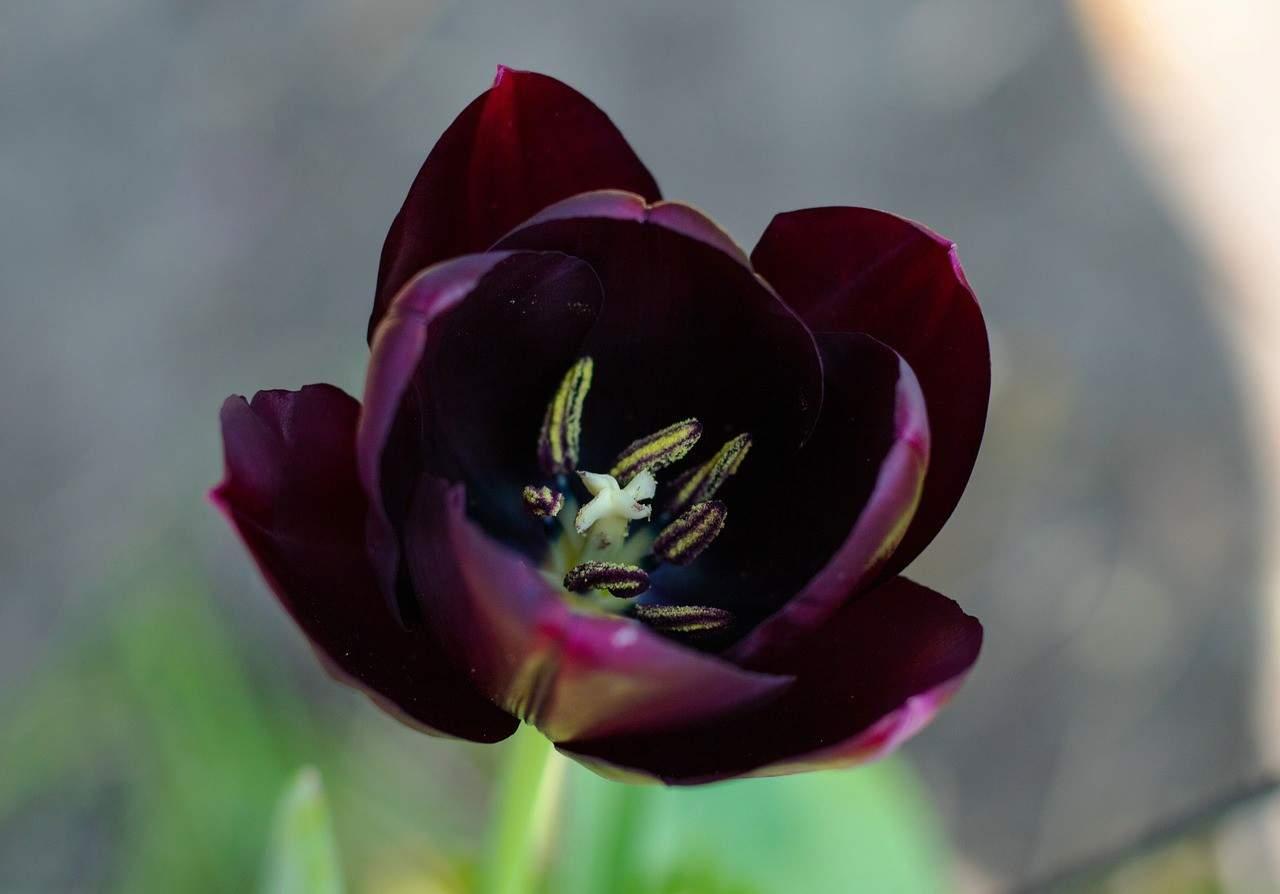 Flores Negras y el tulipán