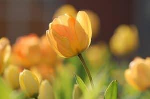 Cómo podemos detectar falta de riego en los tulipanes