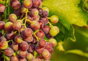 Variedades de Uvas - Caiño