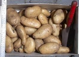 variedades de patatas Spunta