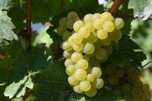 Cómo podemos detectar falta de riego en los viñedos
