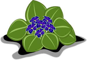 dónde cultivar violeta africana
