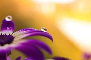 el riego en la violeta africana