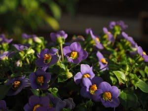 riego y cuidados de la violeta africana