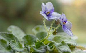 Cómo podemos detectar falta de riego en las violetas africanas