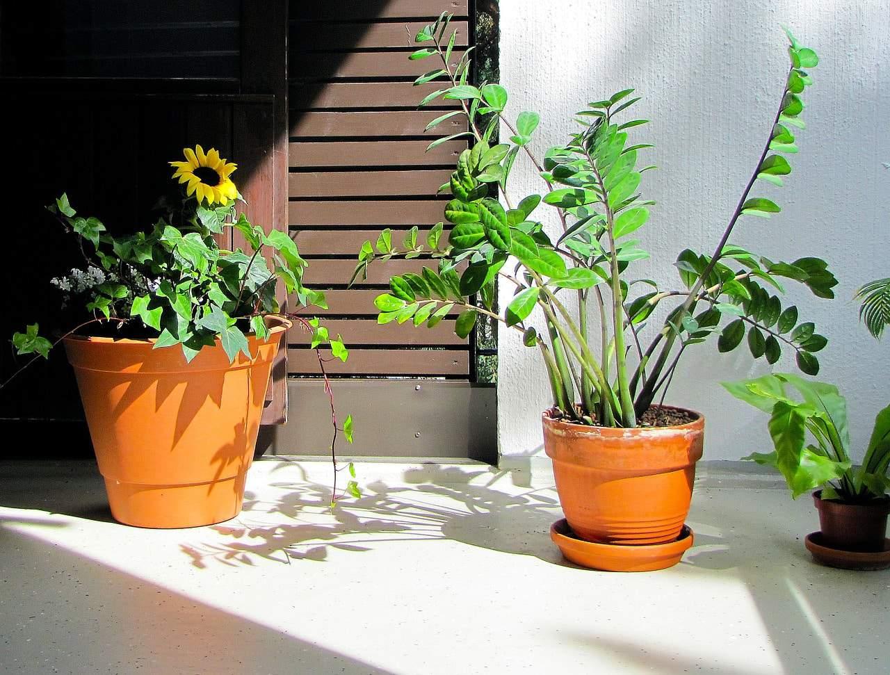 cultivo de zamioculcas